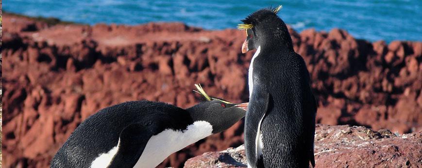 Pingüino penacho amarillo