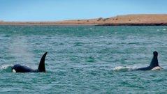 Orcas--pasando-escollera.jpg
